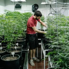 Legal Marijuana Faces Another Federal Hurdle: Taxes